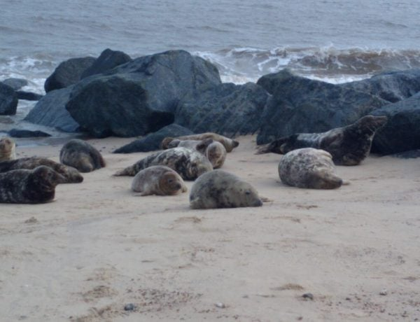inNorfolk | See the seals at Horsey