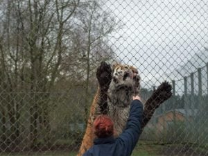 Tiger at Banham Zoo, Norfolk