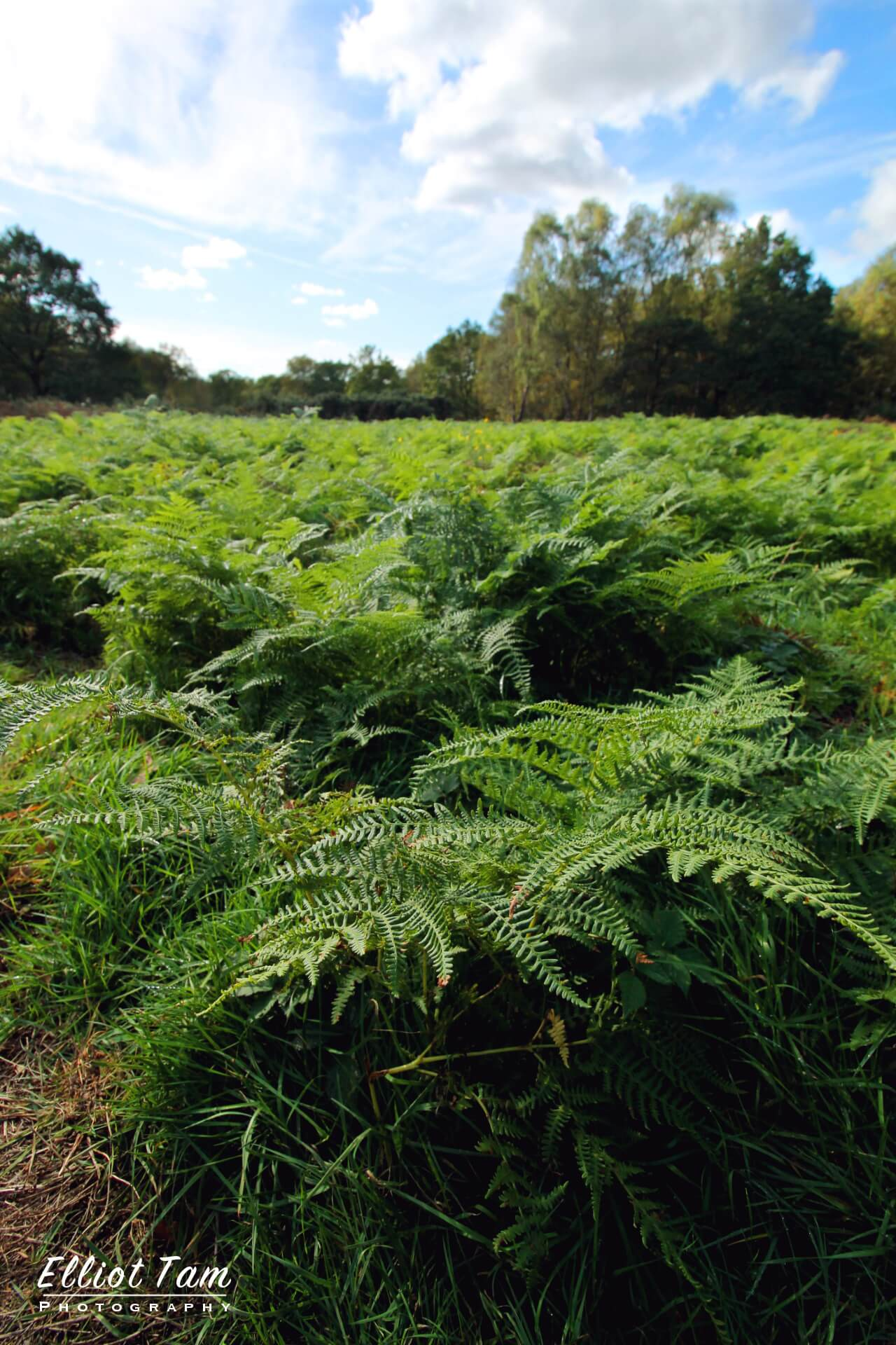 Ferns at Mousehold Heath